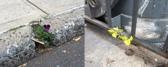 A diptych of two images of plants coming through concrete. On the left side, a purple pansy comes up through a crack in a cement sidewalk, pictured from the side, with the sidewalk edge at a diagonal across the screen with street asphalt visible in front. On the right, A small treelike plant comes up through a hole in a concrete sidewalk, next to a metal grille gate surrounding an enclosed area and some garbage cans. The edge of the sidewalk and the edge of the gate from the first and second images meet at a point in the middle of the composition.